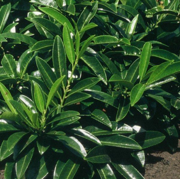 Prunus Laurocerasus Caucasica list