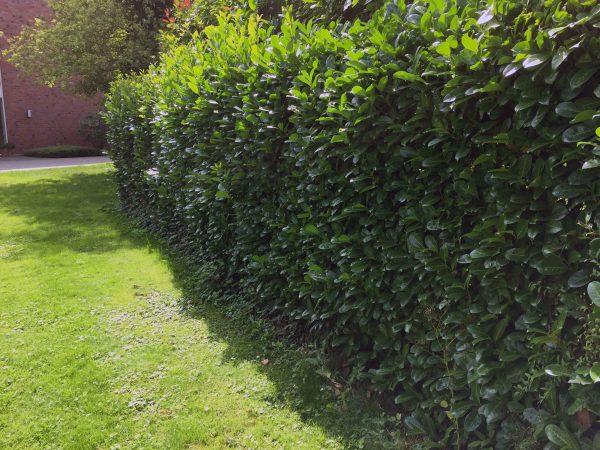 Prunus Laurocerasus Caucasica ziva ograda