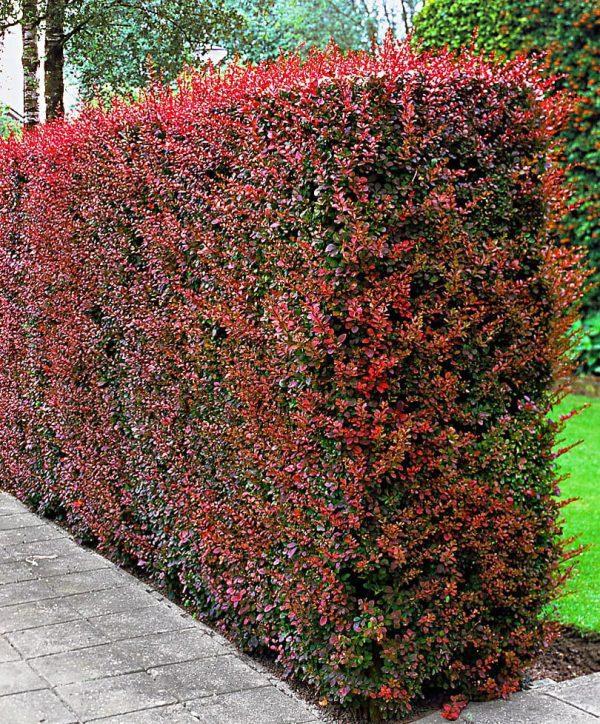 berberis-atropurpureum ziva ograda