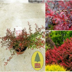 Berberis Thunbergii Red Dream