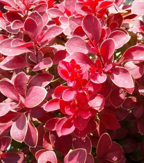 Berberis thunbergii Ruby Star