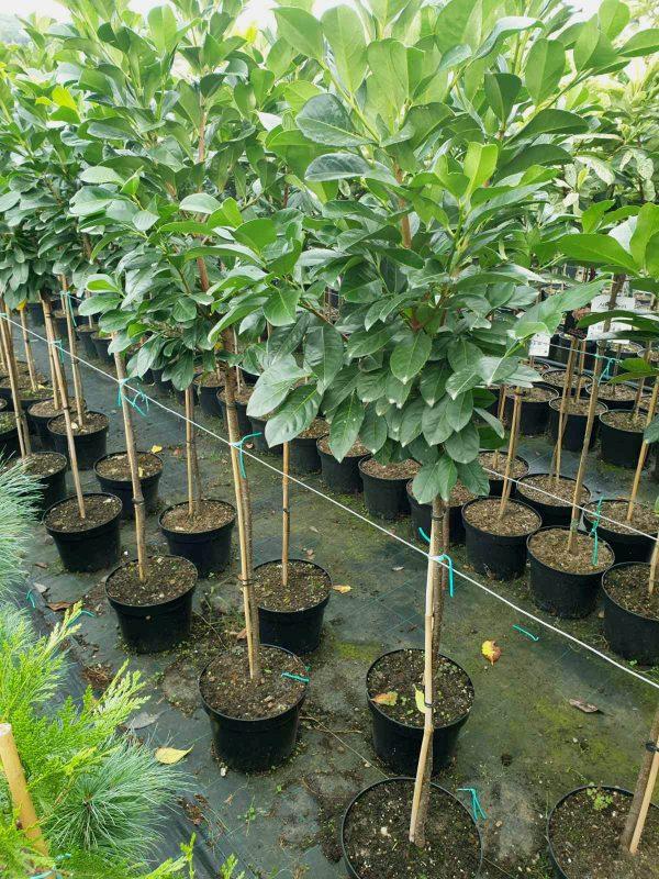 Prunus Laurocerasus na stapu - lovor visnja