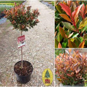 Photinia fraseri 'Chico'