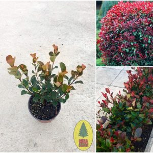 "Photinia Fraseri ""Little Red Robin"""