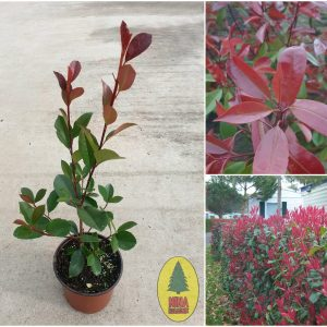 photinia-fraseri-red-robin-min