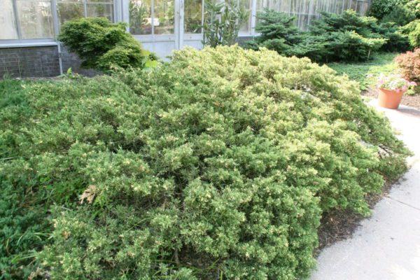 "Juniperus Davurica ""Expansa Variegata"" - cetinari prodaja"