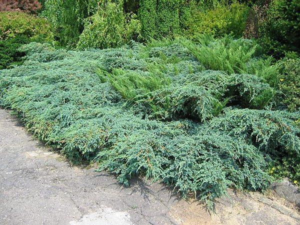 """Juniperus pfitzeriana """"Arctic"""" - prodaja"""