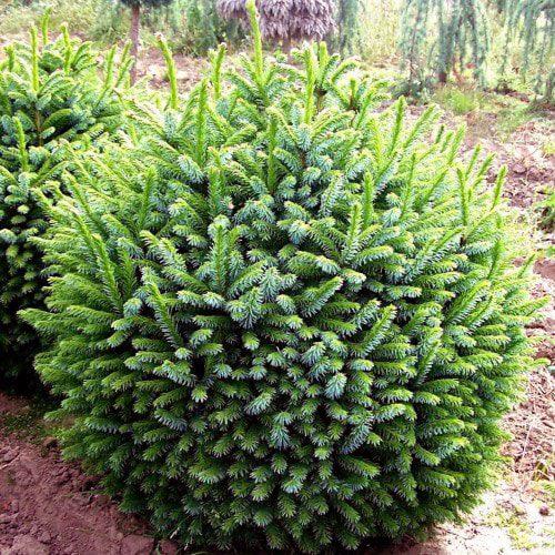 "Picea Omorika ""Nana"""