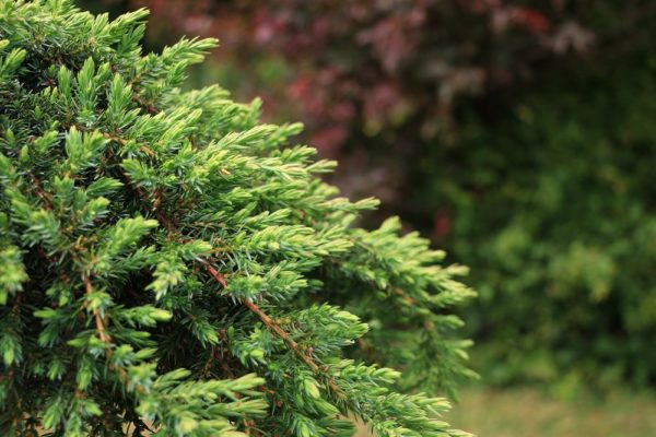 "Juniperus chinessis ""Greenmantle"""