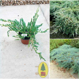 "Juniperus Squamata ""Blue Carpet"""