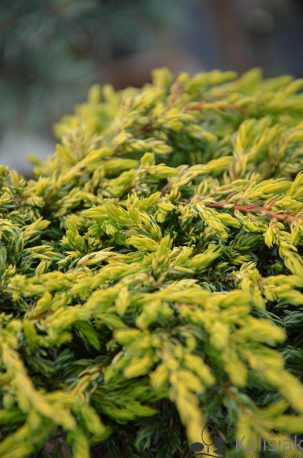 """Juniperus Communis """"Goldshatz"""""""