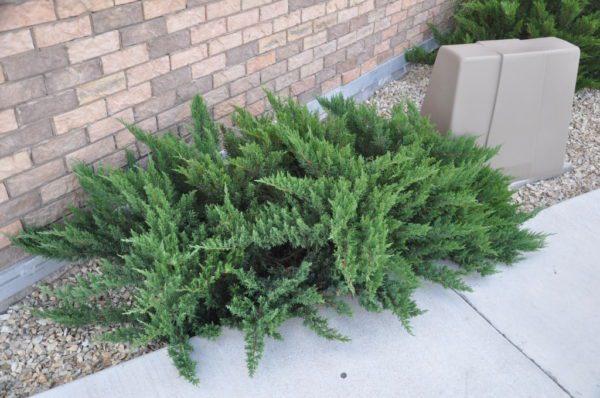 "Juniperus sabina ""Tamariscifolia"" - Prodaja cene cetinara"