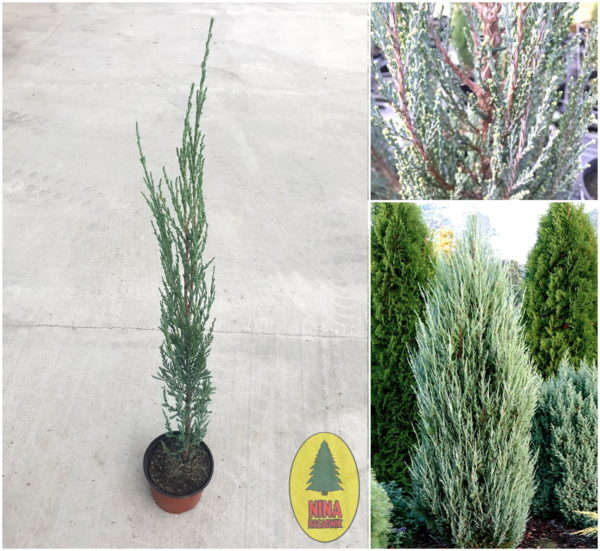 "Juniperus Scopulorum ""Blue-Arrow"" - Cetinarske sadnice"