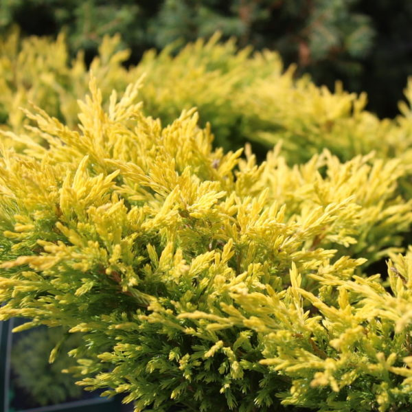 Juniperus Horizontalis Limeglow - Polegla kleka