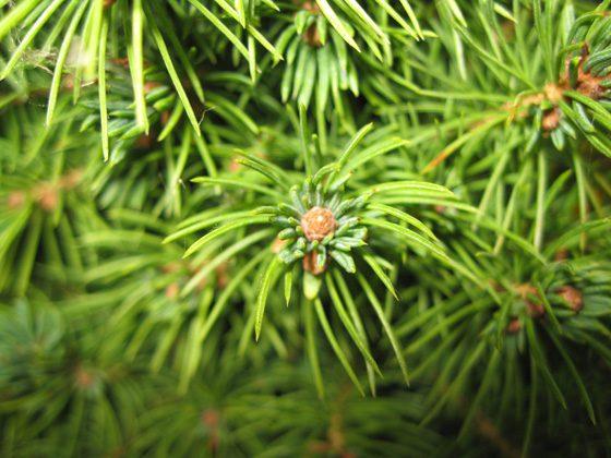 "Picea Glauca ""Conica"" - cetine - patuljasta smrca"