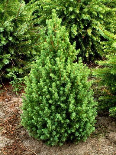"""Picea Glauca """"Conica"""" - Glava secera"""