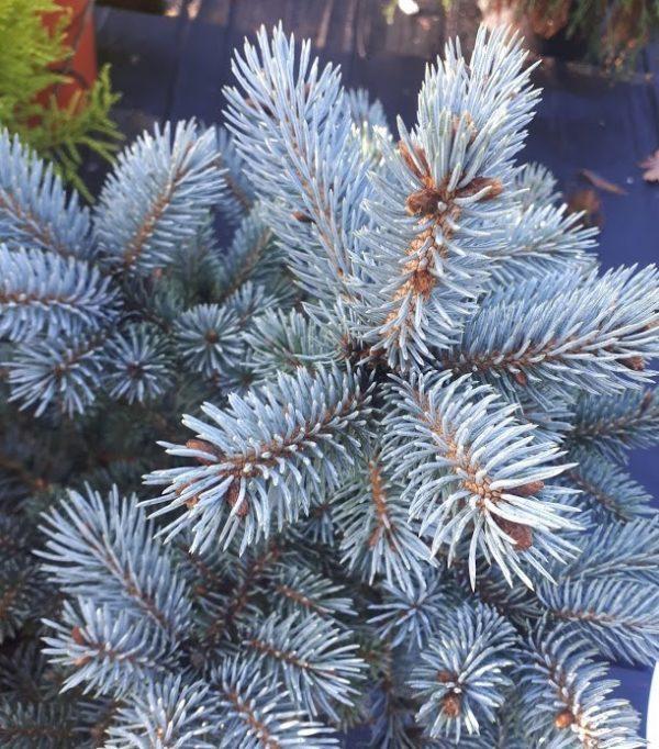 "Picea Pungens ""Glauca Globosa"" - cetinari prodaja"