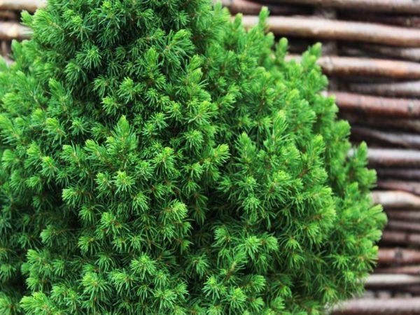 "Picea Glauca ""Alberta globe"" - Cetinari"