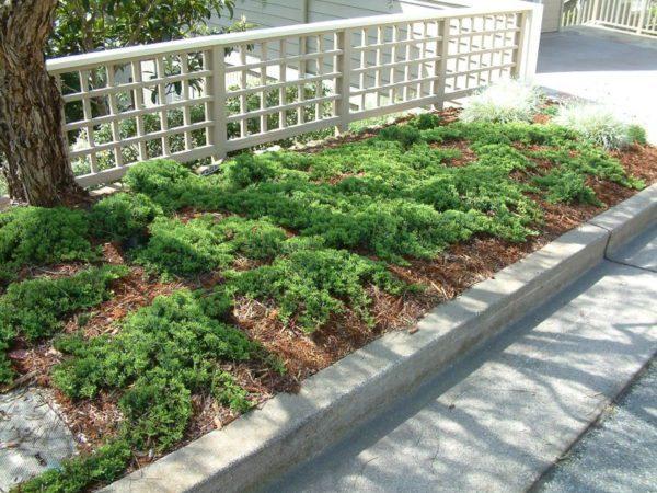 "Juniperus procumbens ""Nana"""