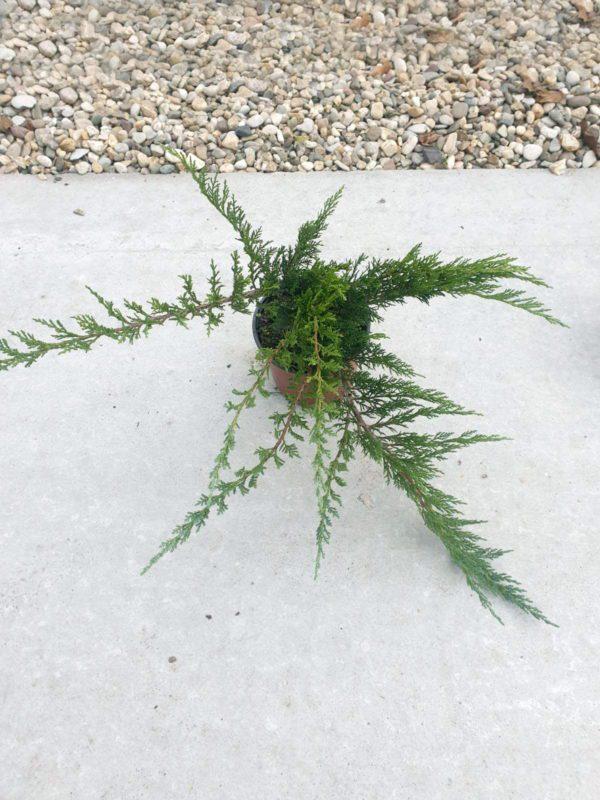 """Juniperus sabina """"Tamariscifolia"""" - Prodaja sadnica cetinara"""