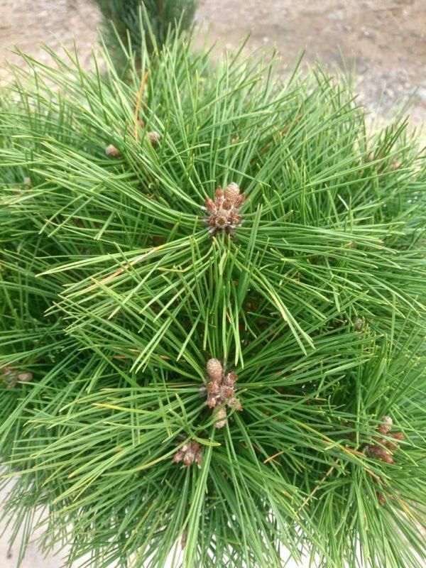 Kalemljeni kuglasti bor Pinus Nigra Brepo