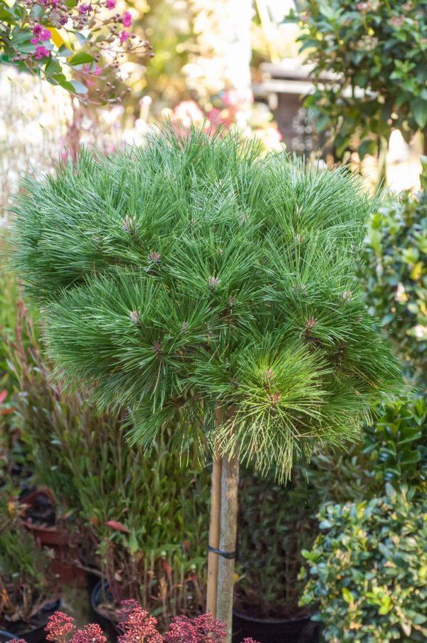 "Kalemljeni kuglasti bor Pinus Nigra ""Brepo"""