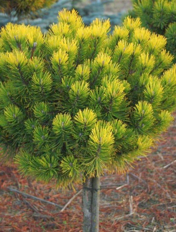 """Pinus Mugo """"Ophir"""" - kalemljeni zlatni bor"""