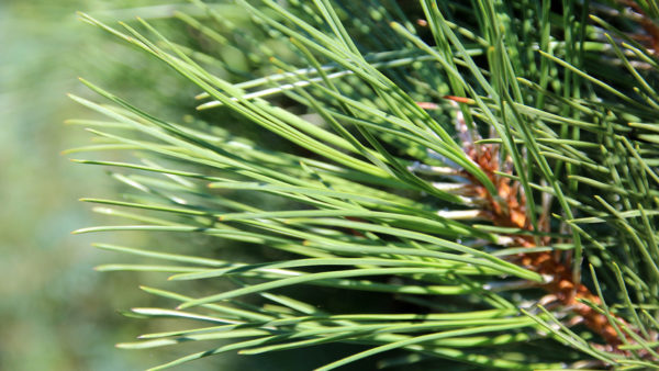 Pinus Nigra Fastigiata - Crni Bor