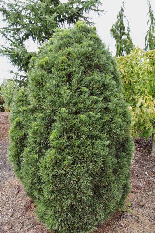 "Pinus sylvestris ""Globosa Viridis"""
