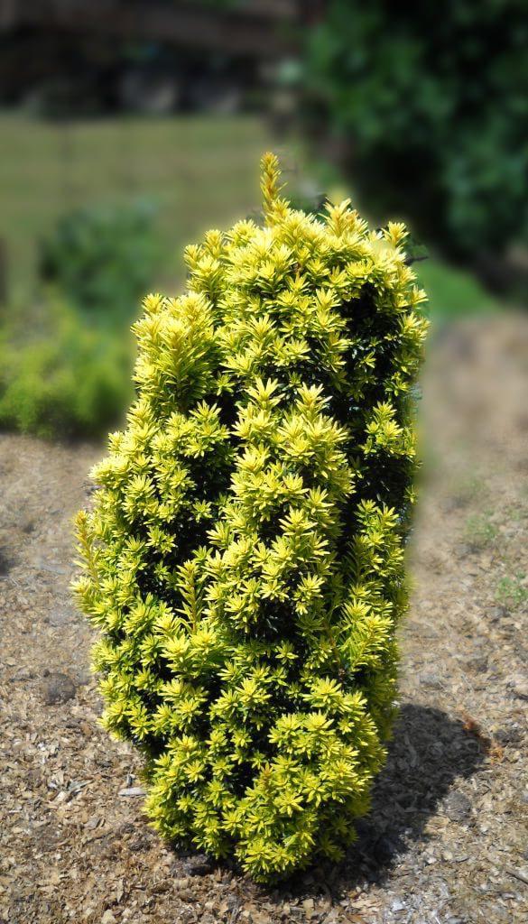 Zlatna tisa - Taxus baccata summergold - cene