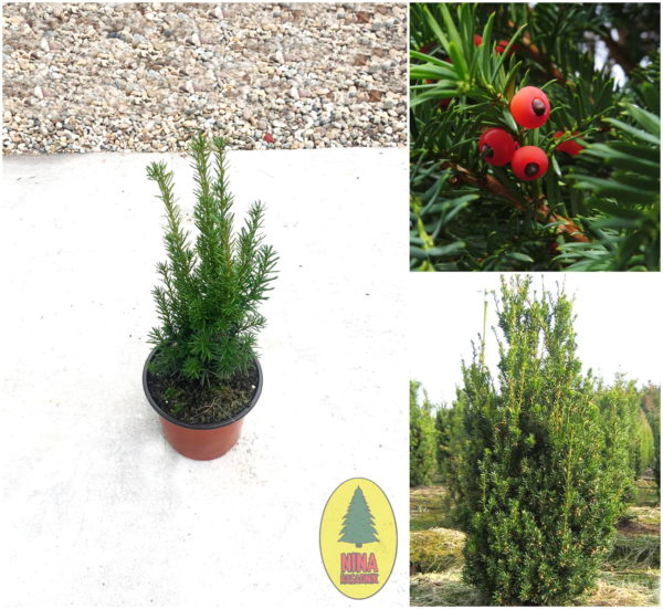 Taxus Media Hicksii - Tisa prodaja