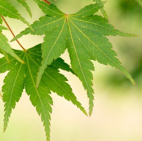 Acer Palmatum SPP