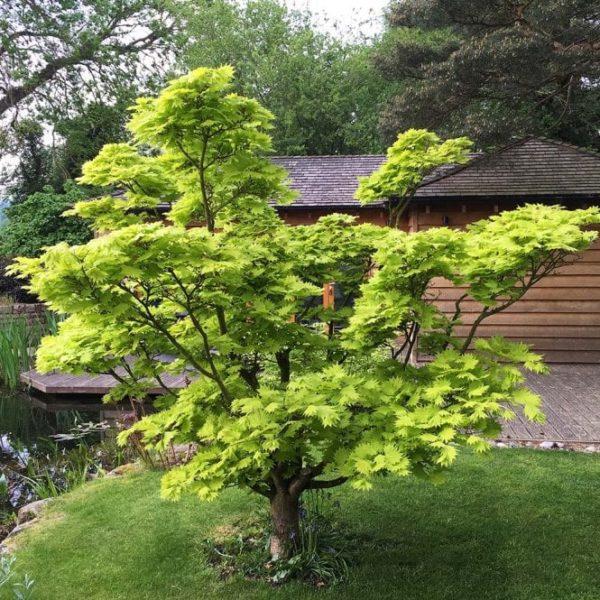 Zlatni javor - Acer Shirasawanum Aureum-min