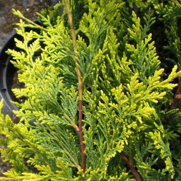 "Cupressocyparis leylandii ""Castlewellan Gold"""