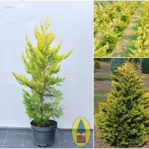 "Cempres - Cupressocyparis Sempervirens ""Gold Rider"""