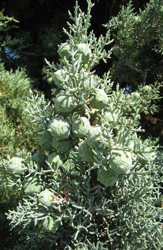 Cupressus Arizonica Fastigiata - Arizonski čempres