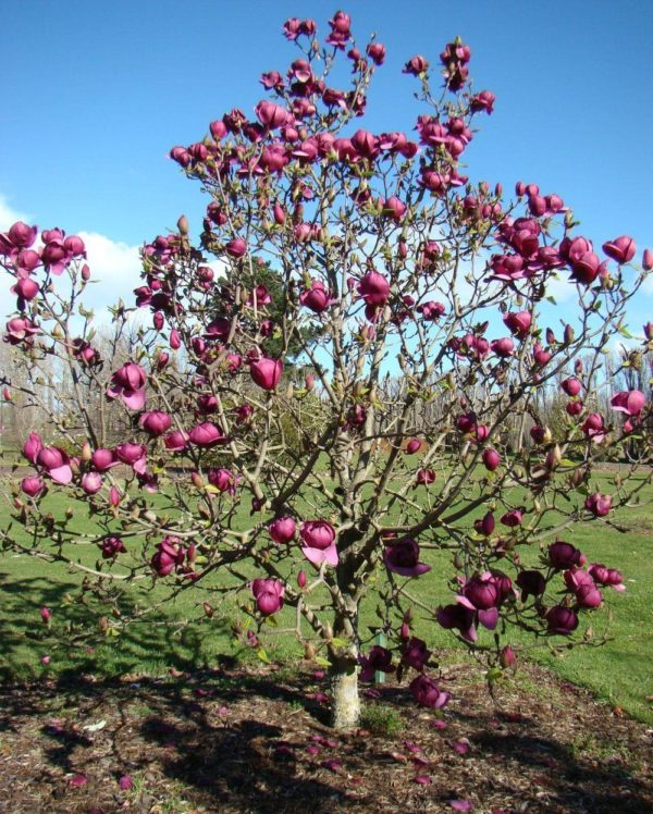 magnolia-genie-prodaja-srbija