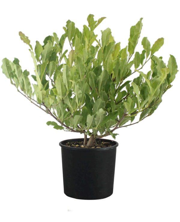 magnolia stellata-prodaja