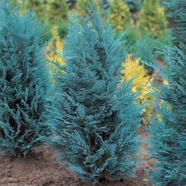 "Chamaecyparis Lawsoniana ""Ellwoodii"" - Prodaja sadnica"