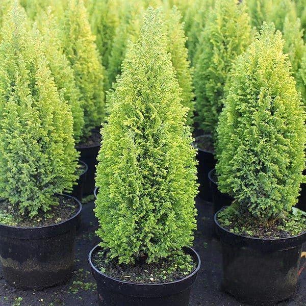 "Chamaecyparis Lawsoniana ""Ellwoodii Gold"" prodaja"