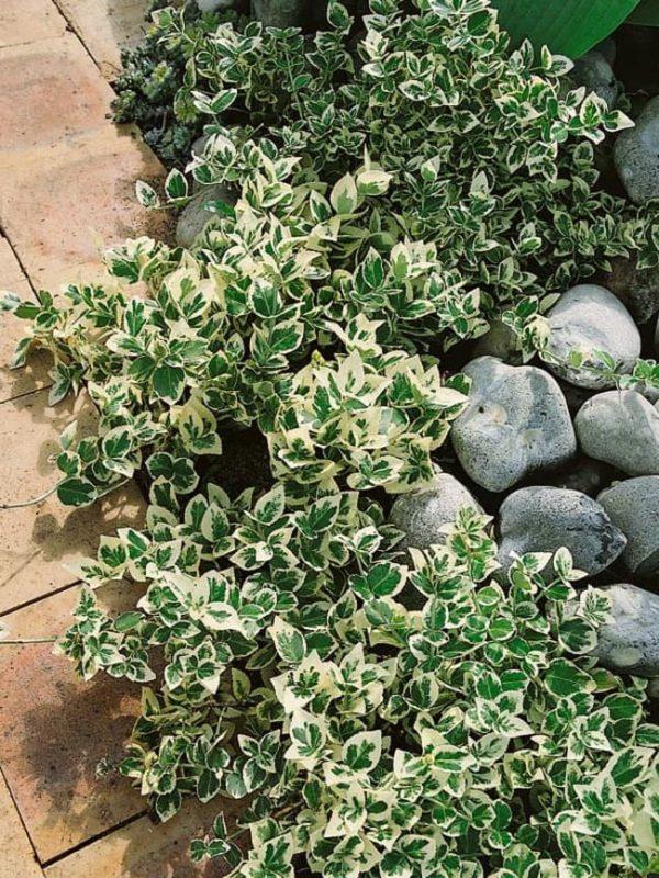 Euonymus Emerald Gaiety-cene