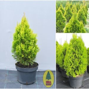 "Thuja Occidentalis ""Golden Smaragd"""