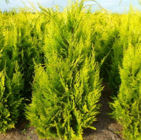 "Chamaecyparis Lawsoniana ""Ivonne"" - sadnice prodaja"