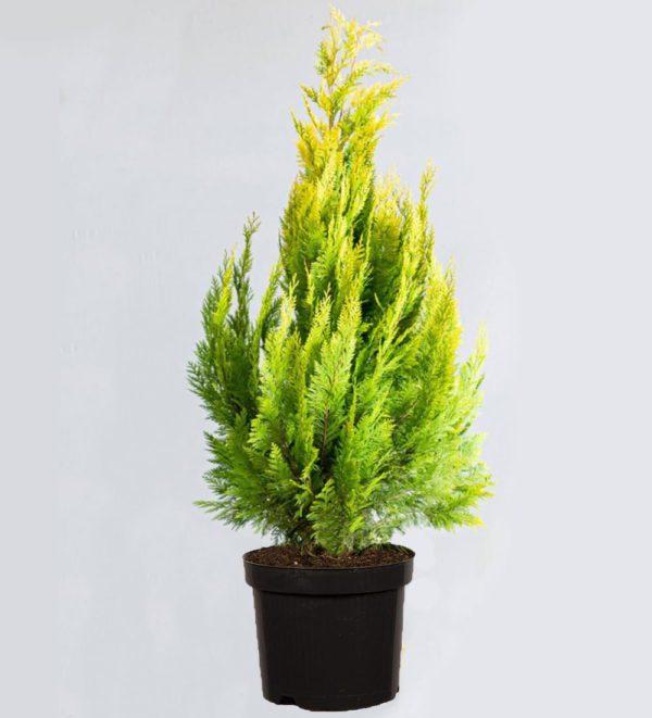 "Chamaecyparis Lawsoniana ""Ivonne"" - prodaja sadnica"