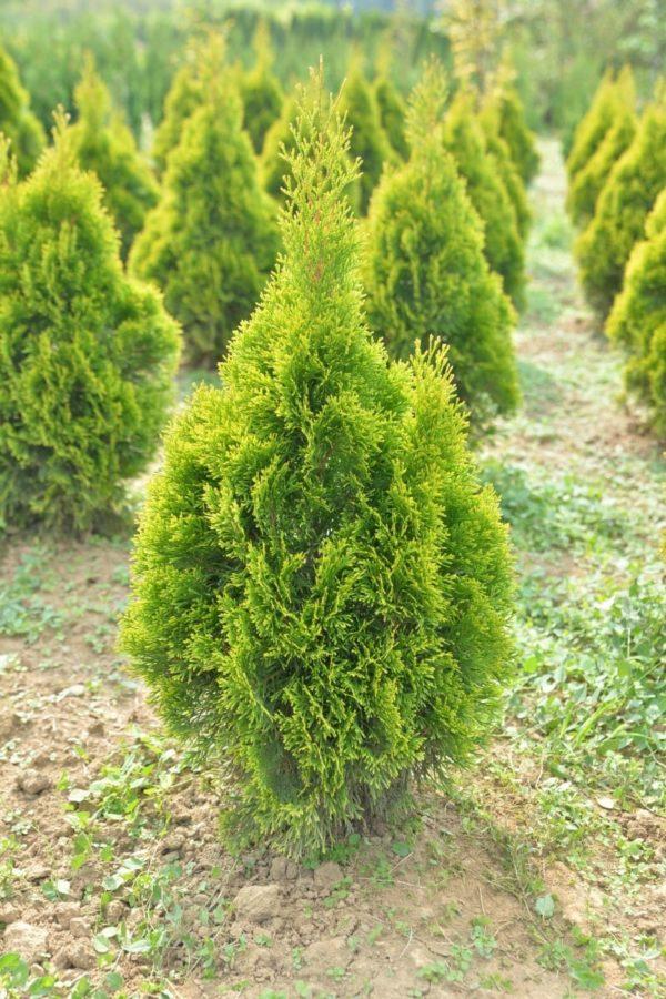 "Thuja Occidentalis ""Golden Smaragd"" - prodavnica sadnica"