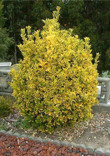evonimus-emerald-gold